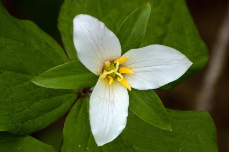 Trillium (wild Lily)