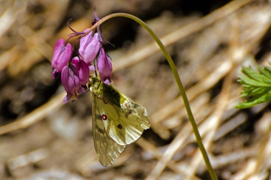 Butterfly enjoying Bleeding Hearts