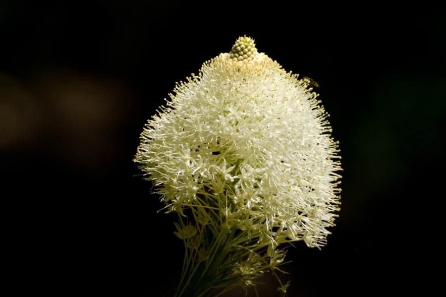 Beargrass (wild Lily)