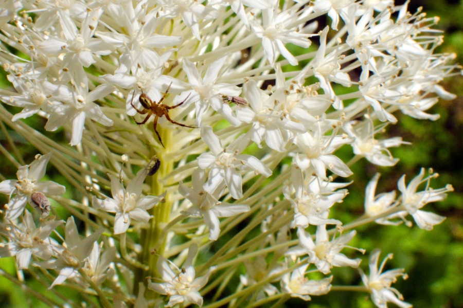 Spider enjoying a Beargrass plume