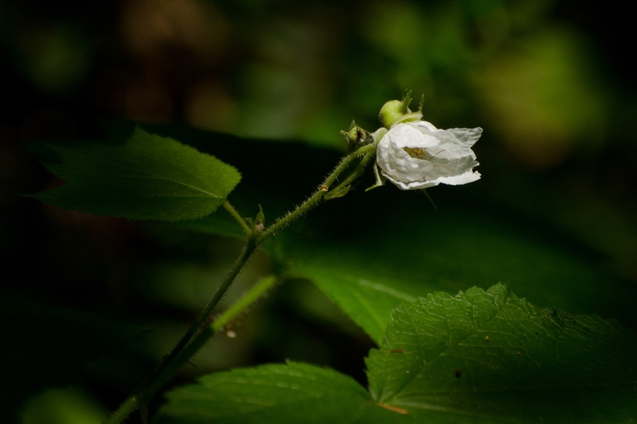 Thimbleberry on its last legs