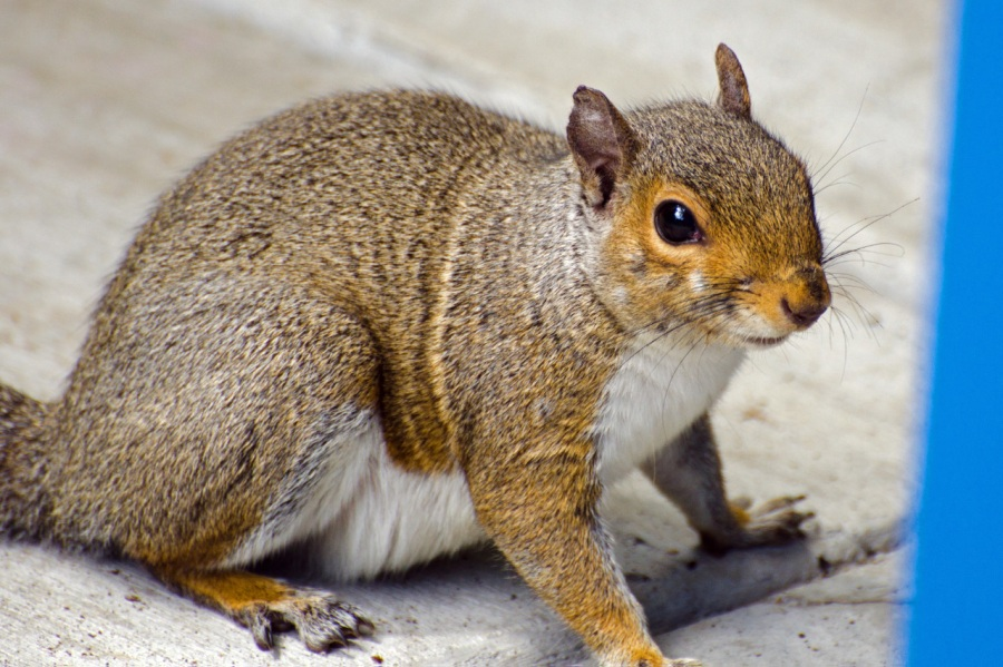 A chubby Squirrel