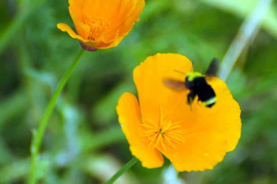 Bee heading for a California Poppy (couldn't stop its wings at 1/2000 sec.)