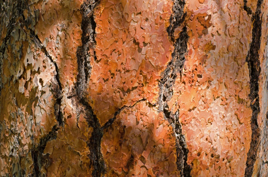 Distinctive orange bark of a mature Ponderosa Pine (old-time loggers called them pumpkins, and some smokejumpers do to)