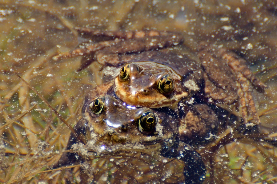 Frogs in the warmer shallows of a tarn below McNeil Point