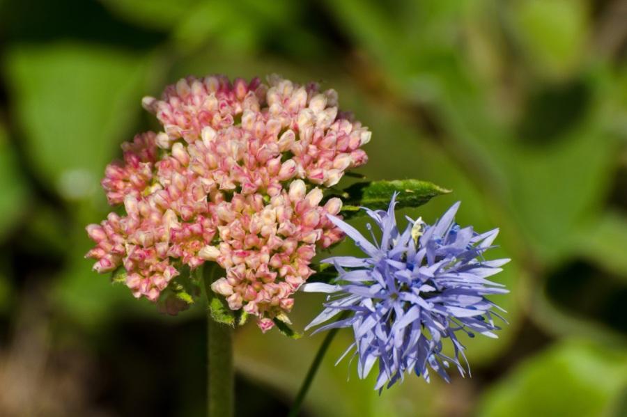 Buckwheat and