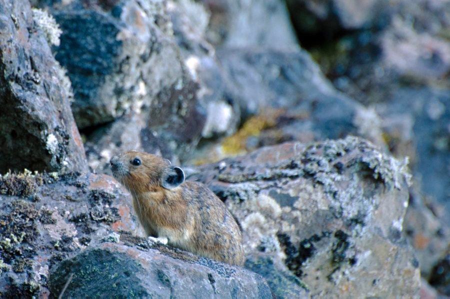 Well-camouflaged Pika