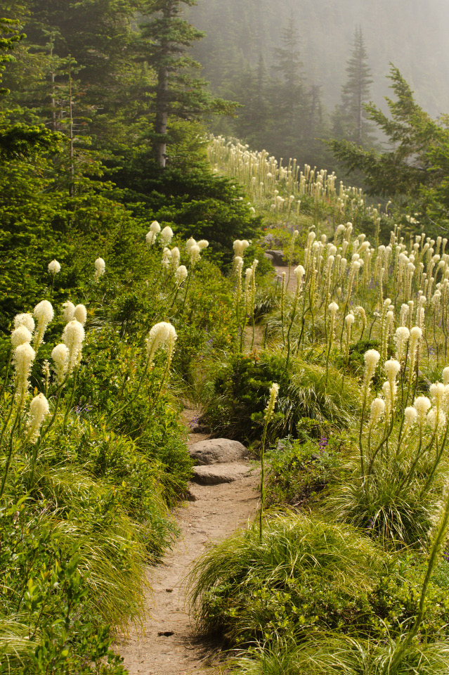 Beargrass Plumes along the trail