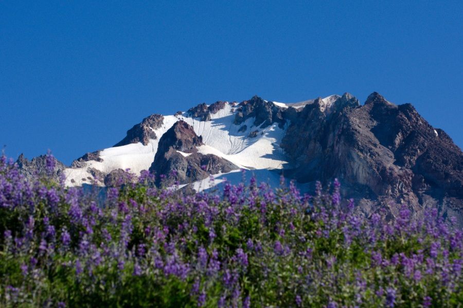 Mt. Hood's summit about a field of Lupine