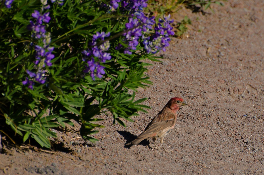 House Finch near Lupines