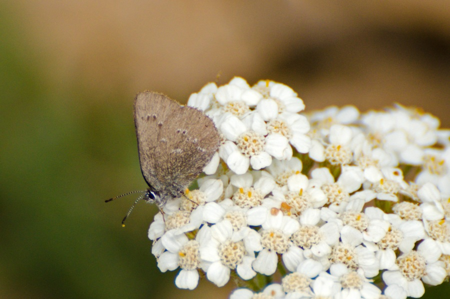 Butterfly enjoying a Yarrow