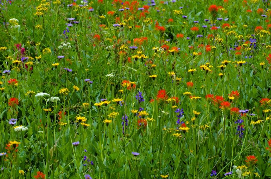 Colorful alpine wildflowers