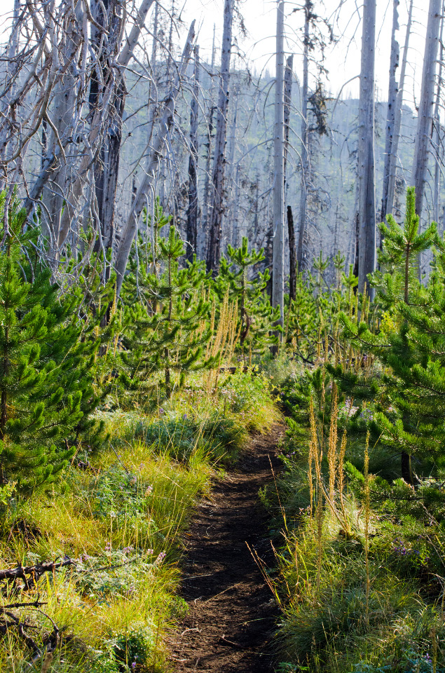 Beargrass and young Lodgepole Pine slowly bringing life back to the wildfire burn
