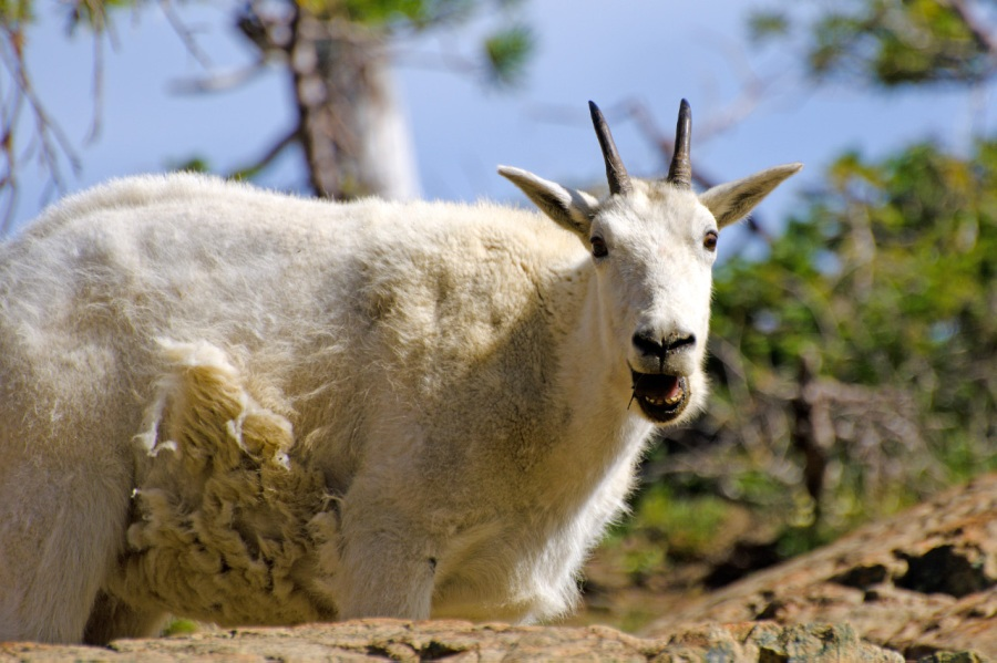 Mountain Goat chewing some food