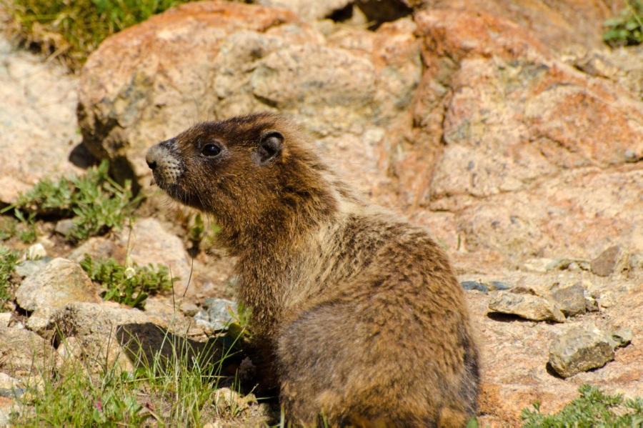 Young Hoary Marmot