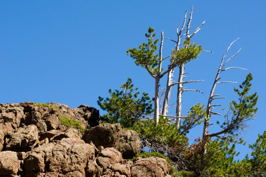 White-bark Pine surviving at 7,000 feet