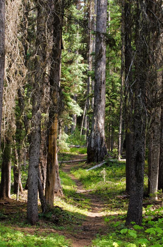 The lower trail passing through Hemlock trees
