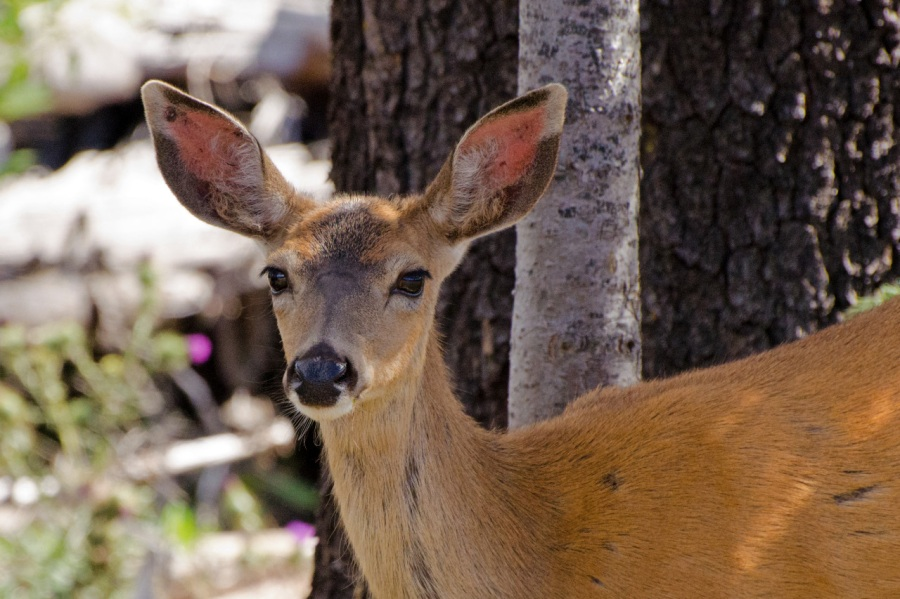 Inquisitive Deer