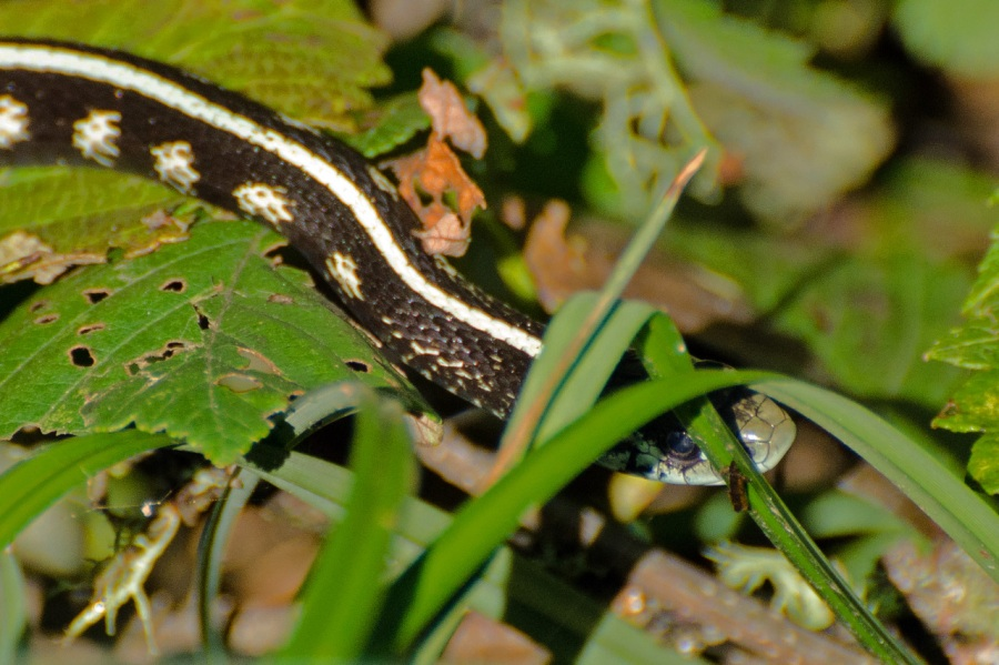 Snake in the grass (Garter Snake)
