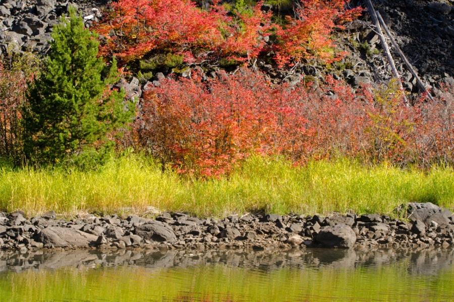 Vine Maple leaves in brilliant color