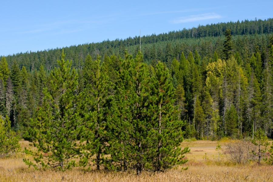 Lodgepole Pine beginning to reclaim a large sub-alpine meadow