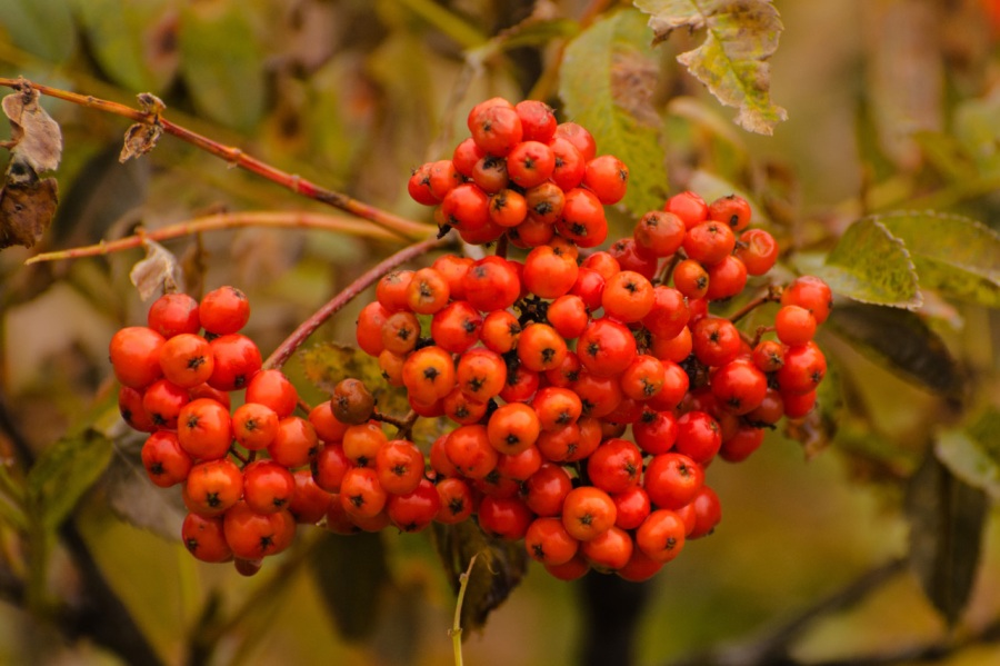 Colorful Sitka Mountain Ash berries