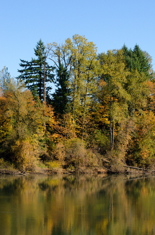 Large Cottonwoods along the Willamette River