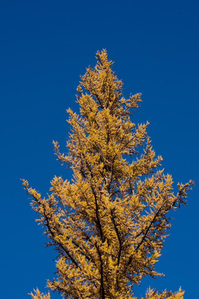 Mature Tamarack silhouetted against the bluebird skies