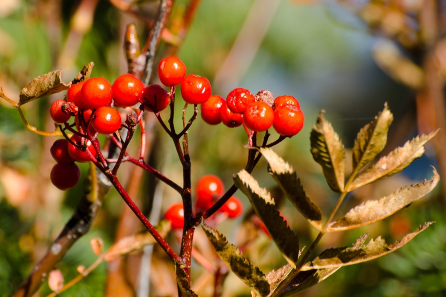 Sitka Mountain Ash berries