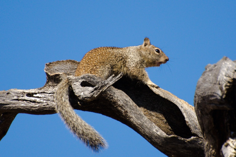 Columbia Ground Squirrel up a tree