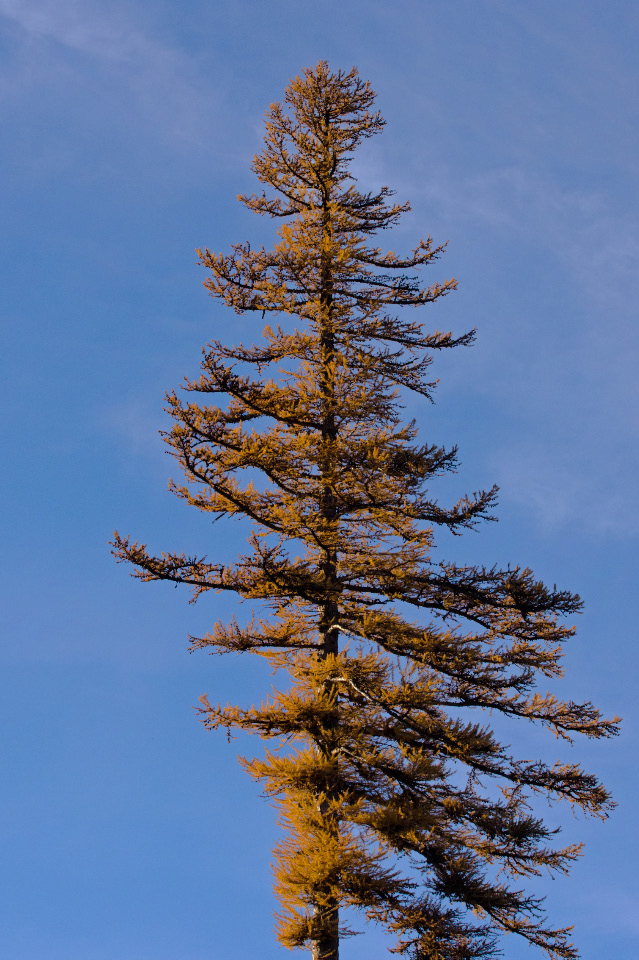 Tamarack in full golden glory