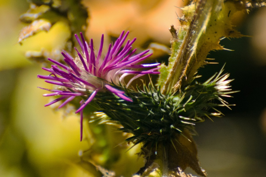 Thistle in bloom in late October near the Kinzel Mine