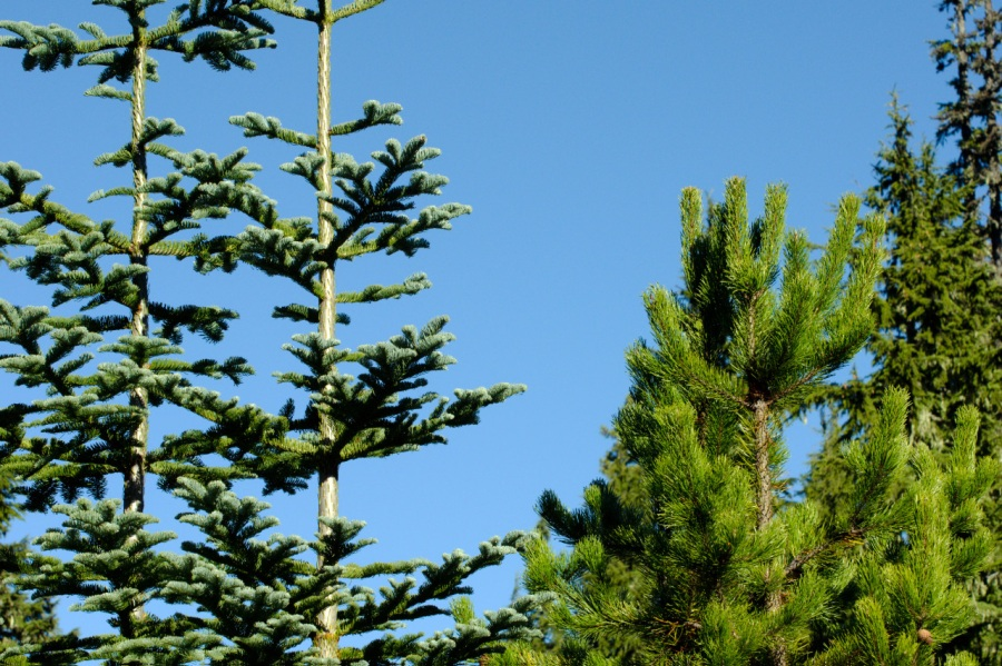 Noble Firs and Lodgepole Pine