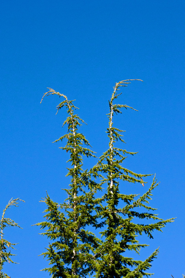 Mountain Hemlock (notice the droopy tops)