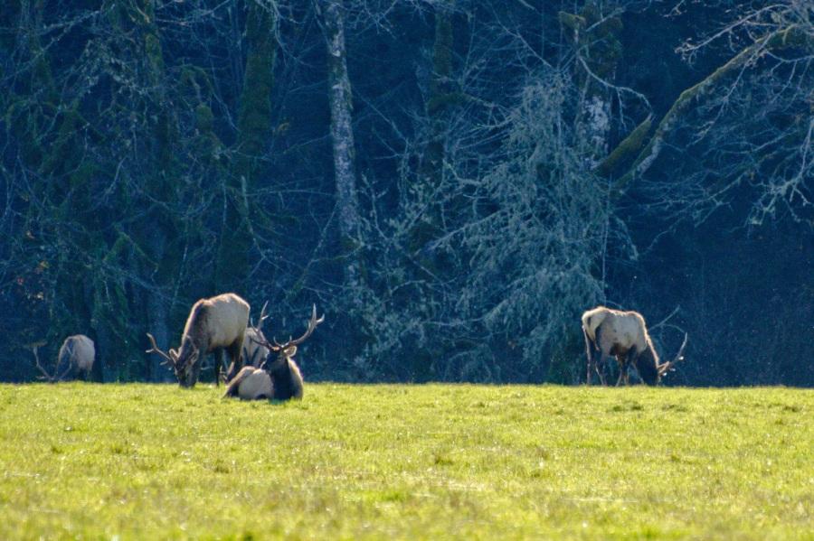 Big Roosevelt Bull Elk