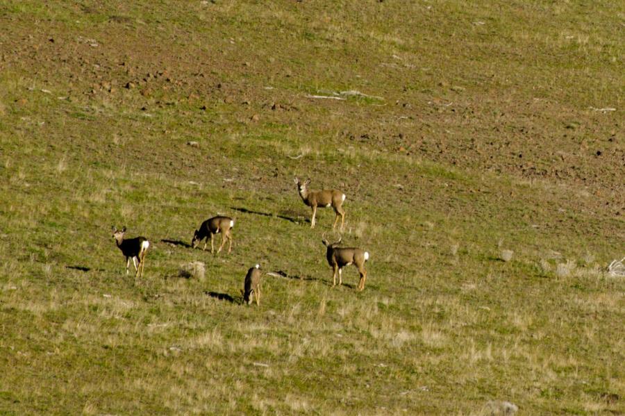 Nice Mule Deer buck and his harem