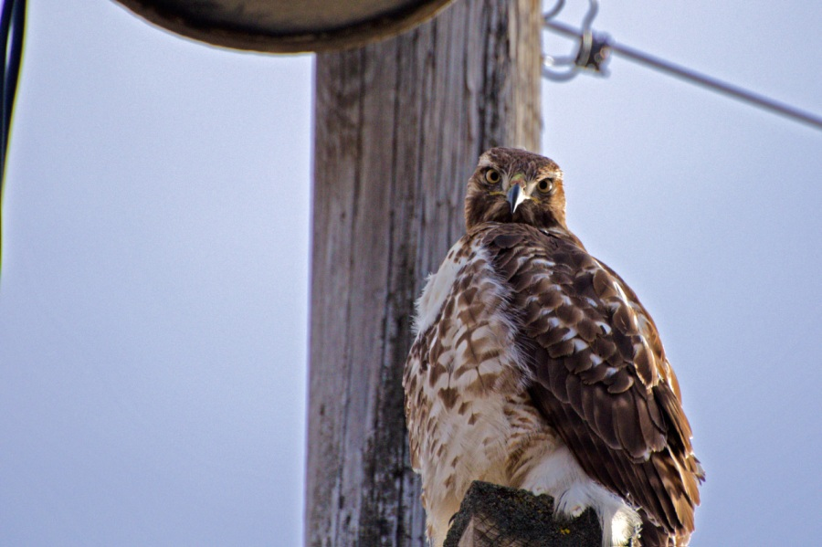 Young Red-tail Hawk