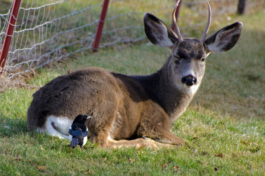 Magpie keeping an eye on a sleepy young Mule Deer Buck