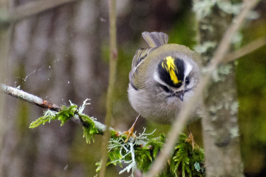 Golden-crested Kinglet