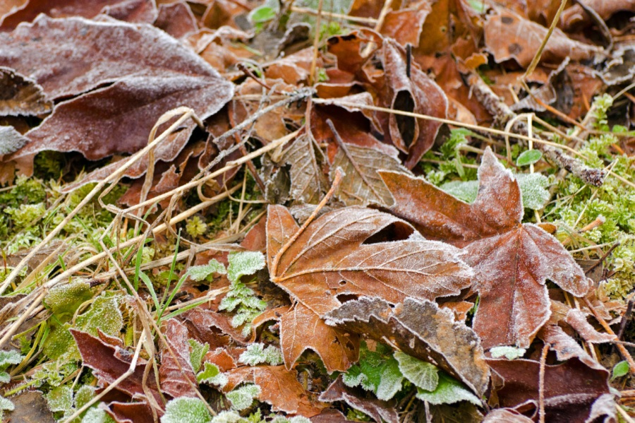Early morning frost on fallen leaves