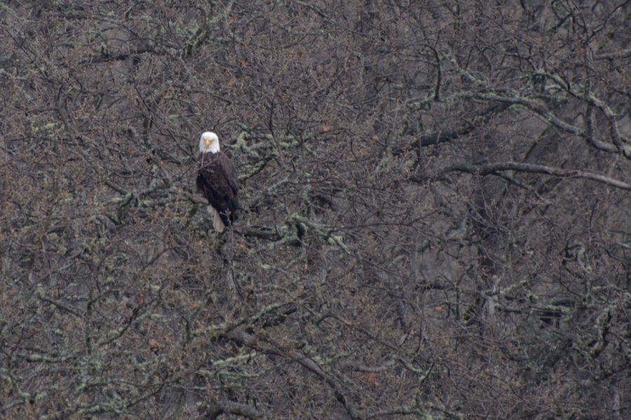 Bald Eagle near the Klickitat River