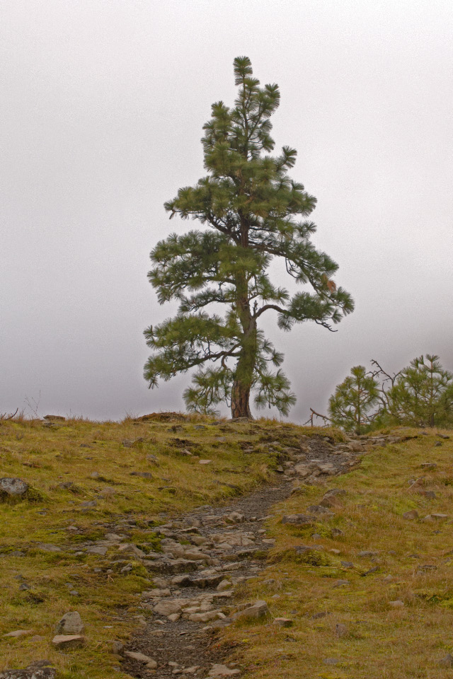 Solitary mature Ponderosa Pine along a rough trail in the Catherine Creek area