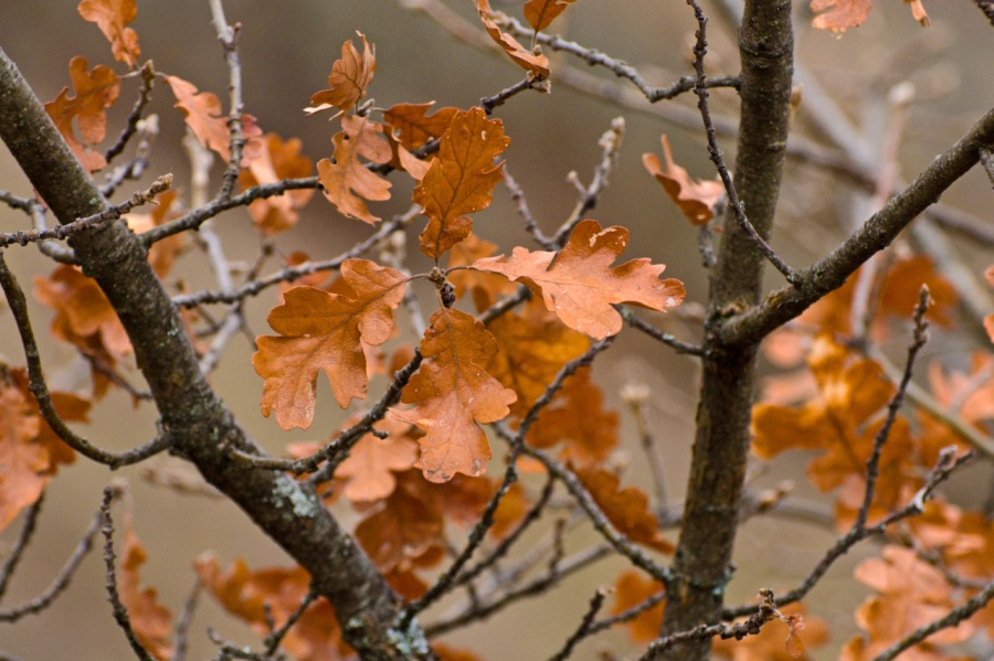 Stubborn Oak leaves refusing to fall