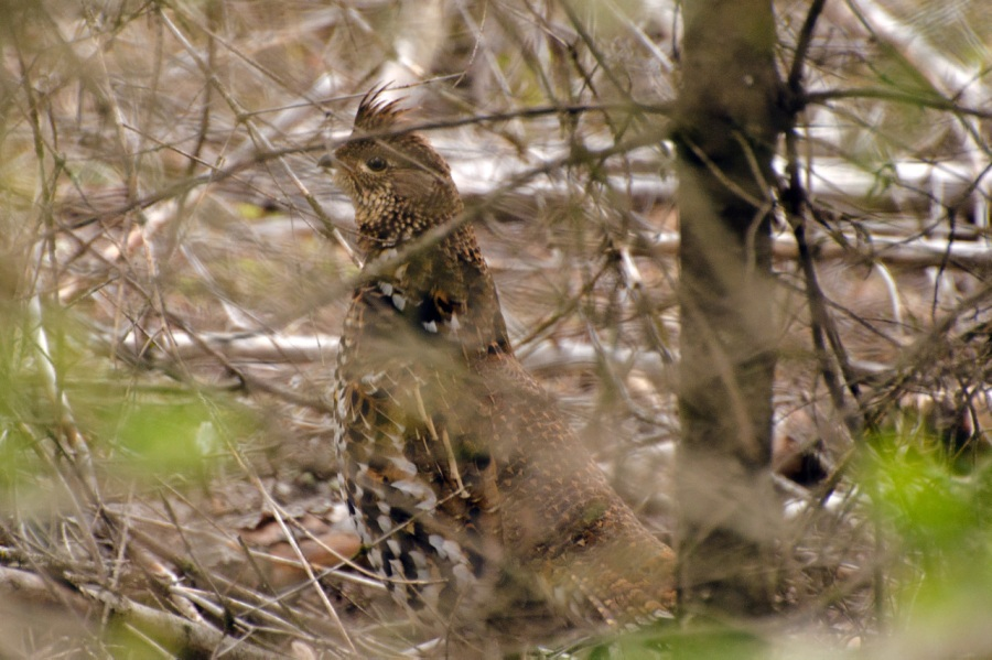 Ruffed Grouse (master of camouflage)