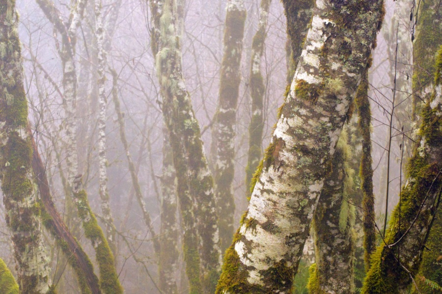 Red Alder in the fog