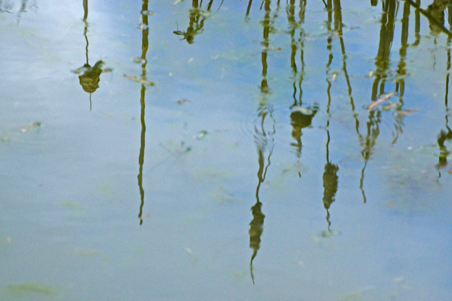 Cattails reflected in a pond
