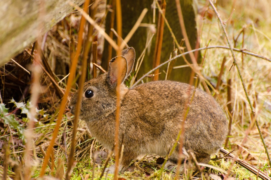 Look for the eyes to successfully spot rabbits