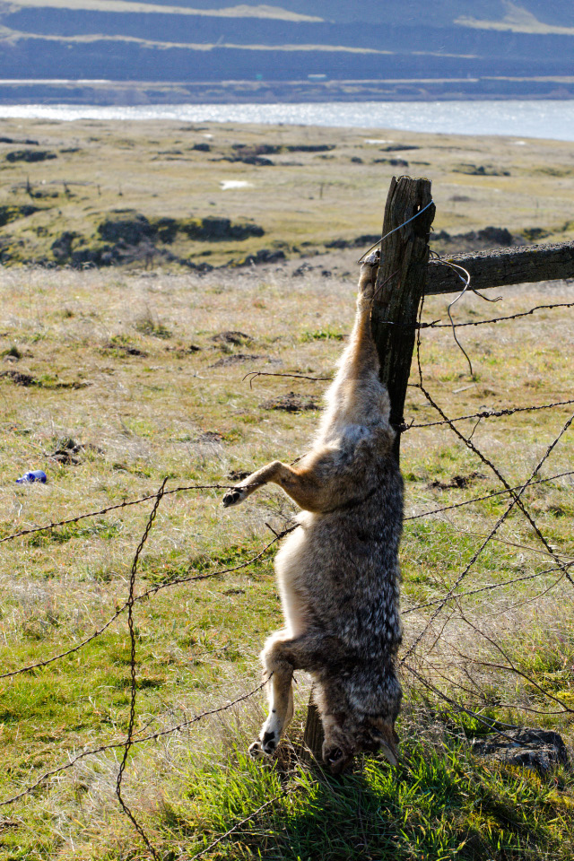 A rare sight today, but a relatively common sight in the mid-20th century (meant to scare off other coyotes)