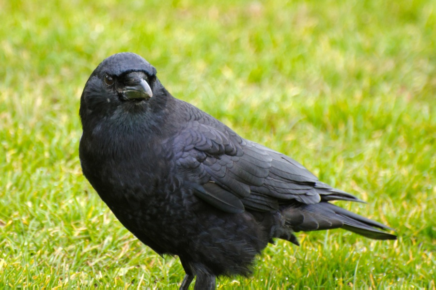 Ticked-off Crow