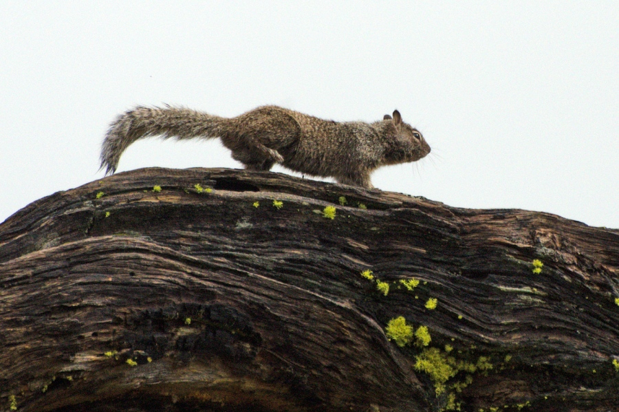 Columbia Gray Squirrel
